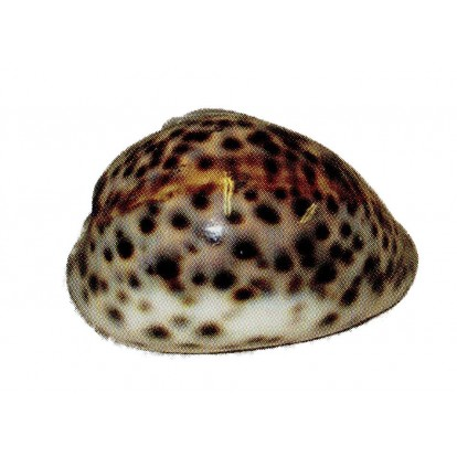 Coquillage Tigrine 8 à 10 cm