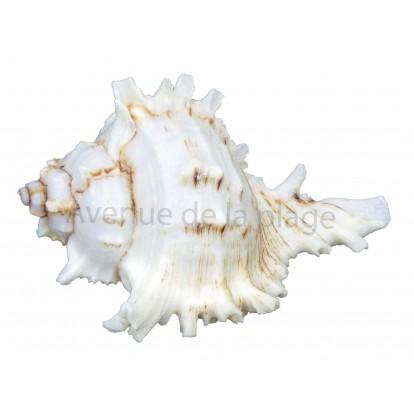 Coquillage Murex 10-12 cm