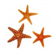Étoile de mer véritable 10 - 15 cm