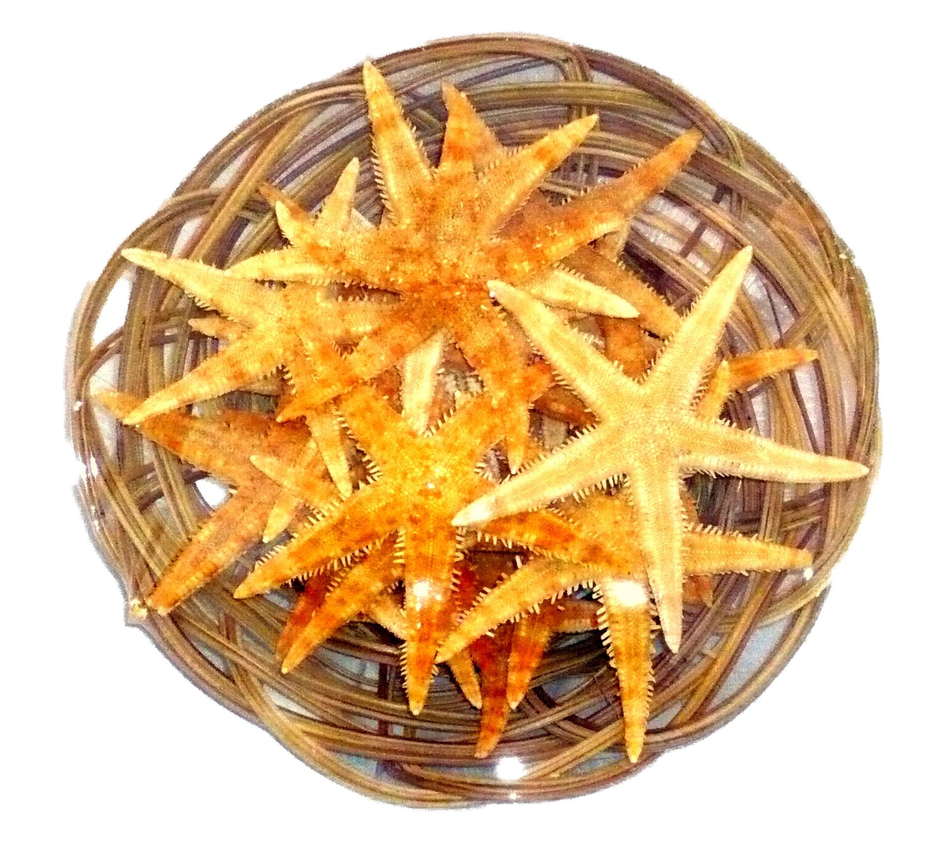 Filet De Peche Déco Pas Cher panier d'étoiles de mer 6 - 8 cm -