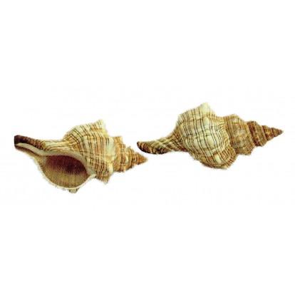 Coquillage Fasciolaria 15 - 17 cm