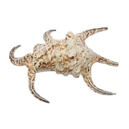 Coquillage Lambis Chiragra 18-22 cm