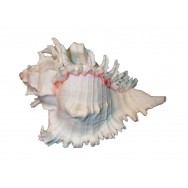 Coquillage Murex Ramosus 15-17 cm
