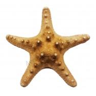 Étoile de mer 10 - 15 cm